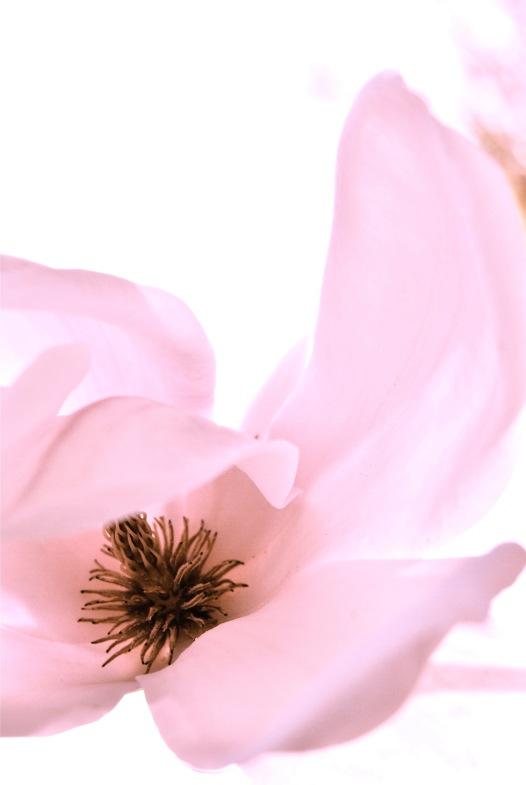 blush magnolia via anastasiabenko.com