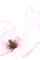 blush magnolia