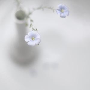 pale blue flower
