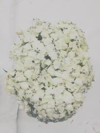 white sweet william
