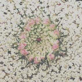 wild carrot: white and pink beauty