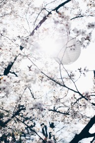 cherry blossoms with paper lantern via anastasiabenko.com