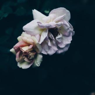 moody roses via anastasiabenko.com