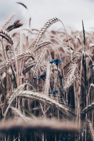 cornfield with blue cornflower