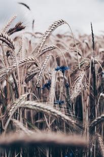 cornfield with blue cornflower