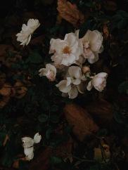 moody white roses