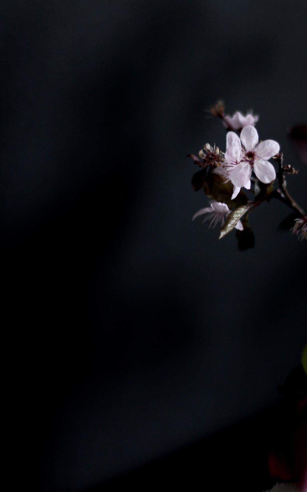 moody cherry blossom via anastasiabenko.com
