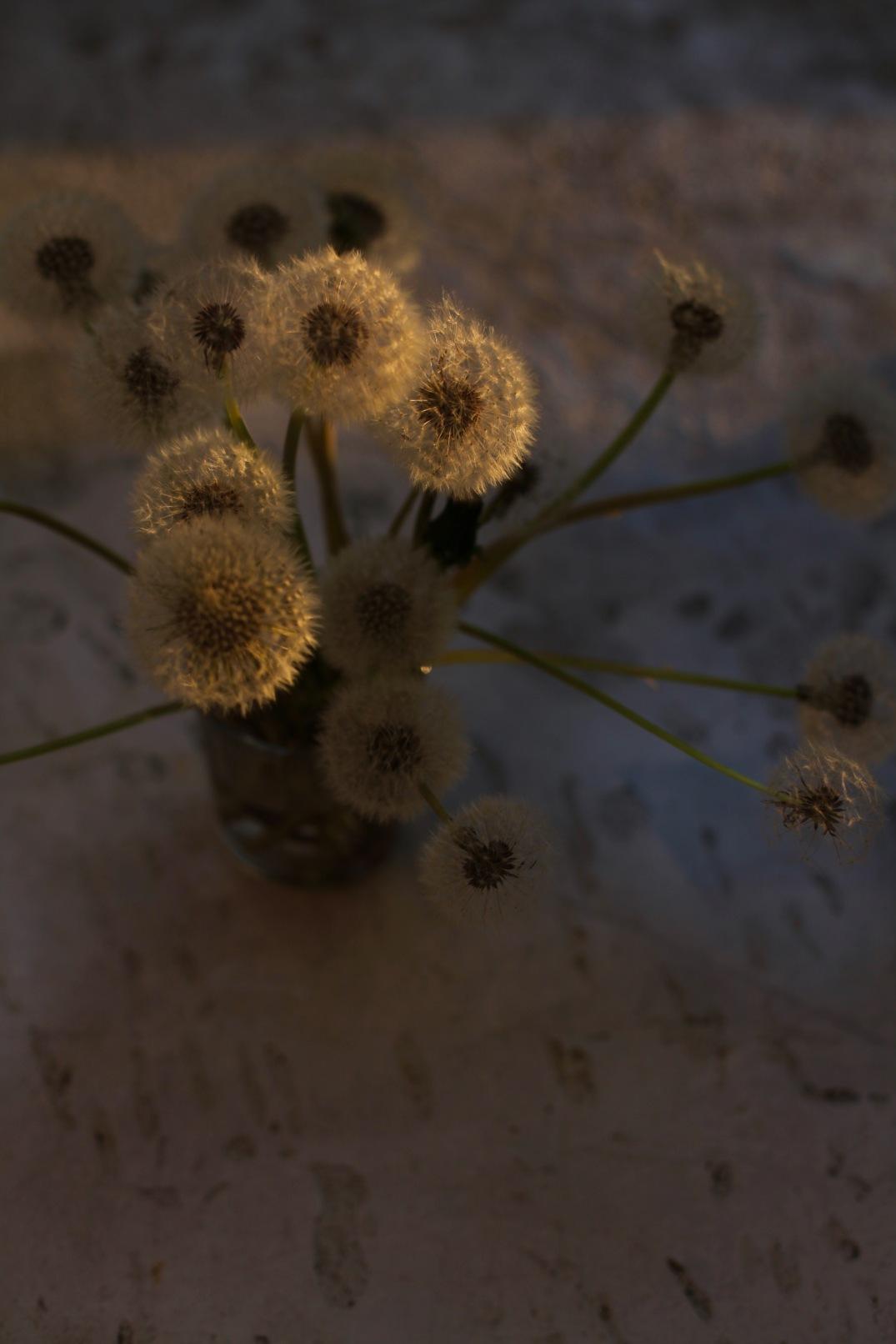 golden dandelions in the evening sun via anastasiabenko.com
