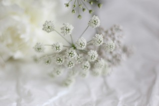 Queen Anne's lace - wild carrot