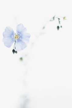 pale blue summer flower / anastasiabenko.com