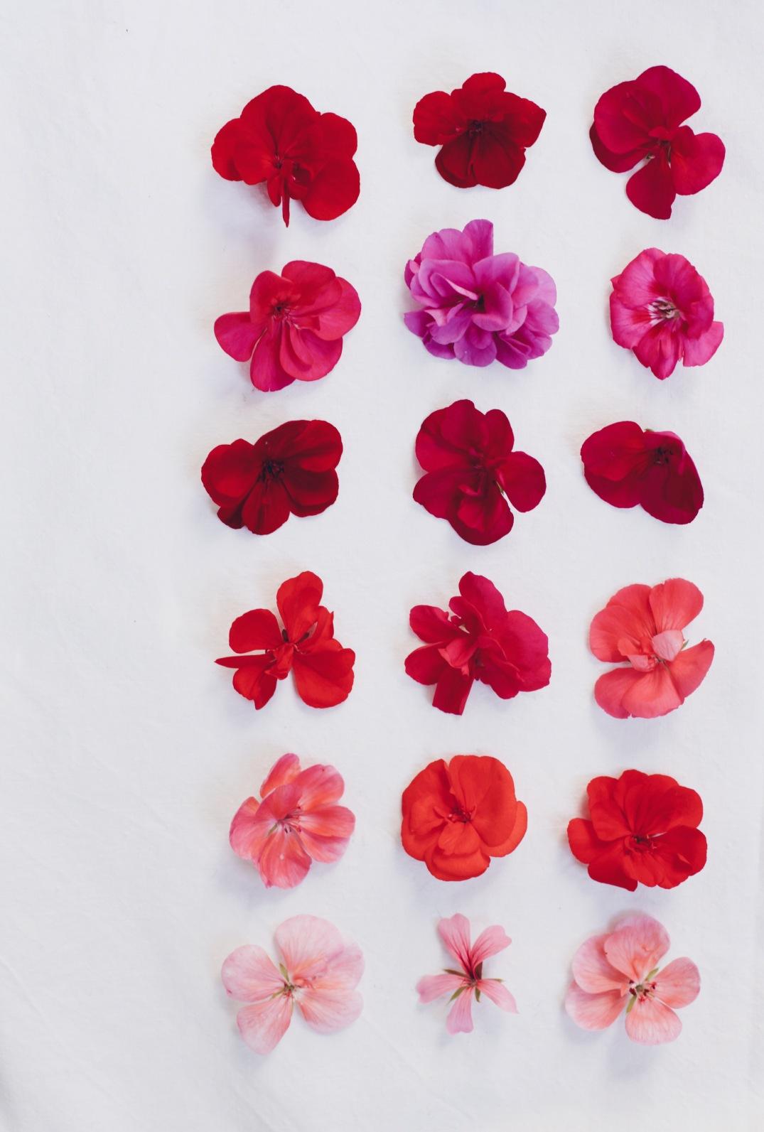 varieties of geranium // pelargoniums