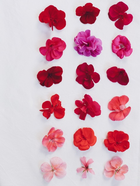 varieties of geranium // pelargoniums