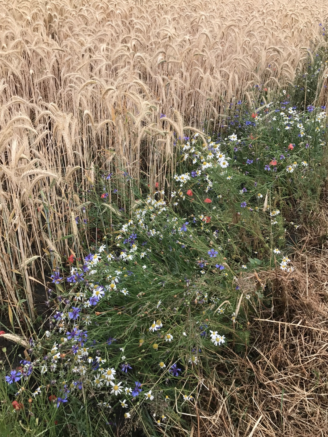 wild summer flowers - red poppies with chamomile and cornflowers