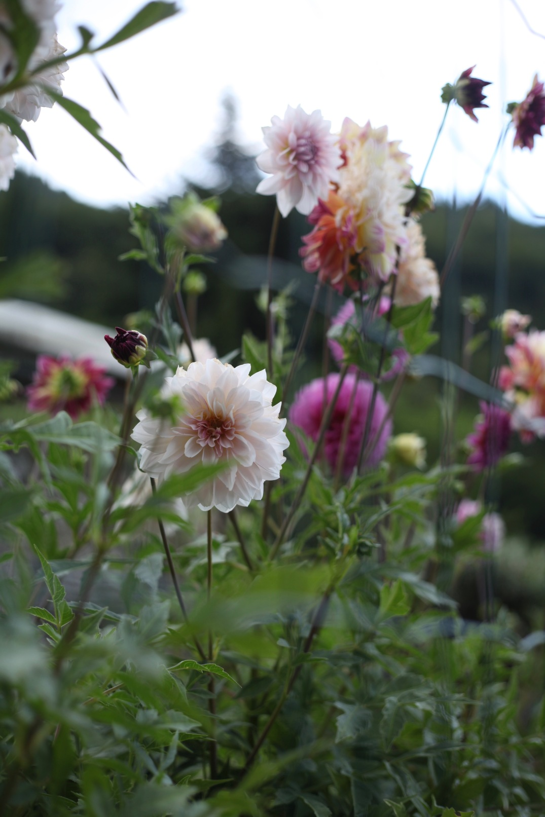 dahlias at an organic farm in the mountains above Lago di Garda, Italy