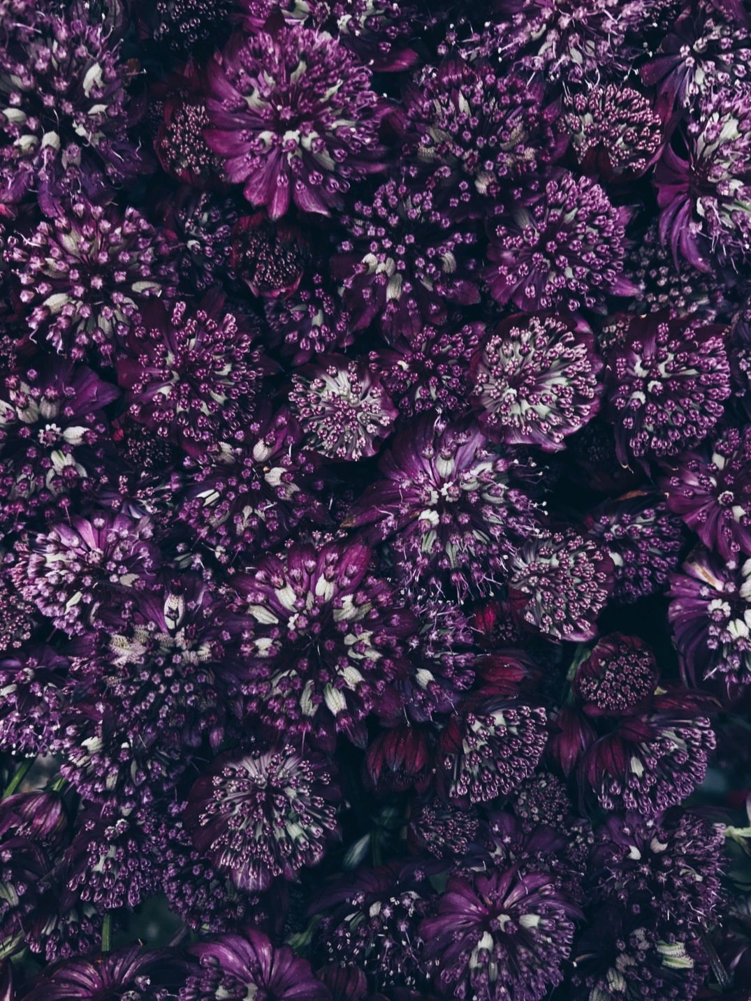 deep purple astrantia