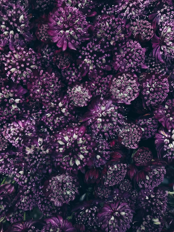 deep purple astrantia