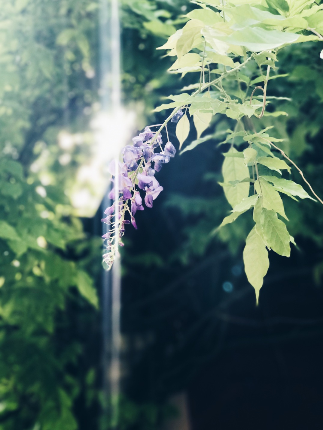 wisteria in the sun