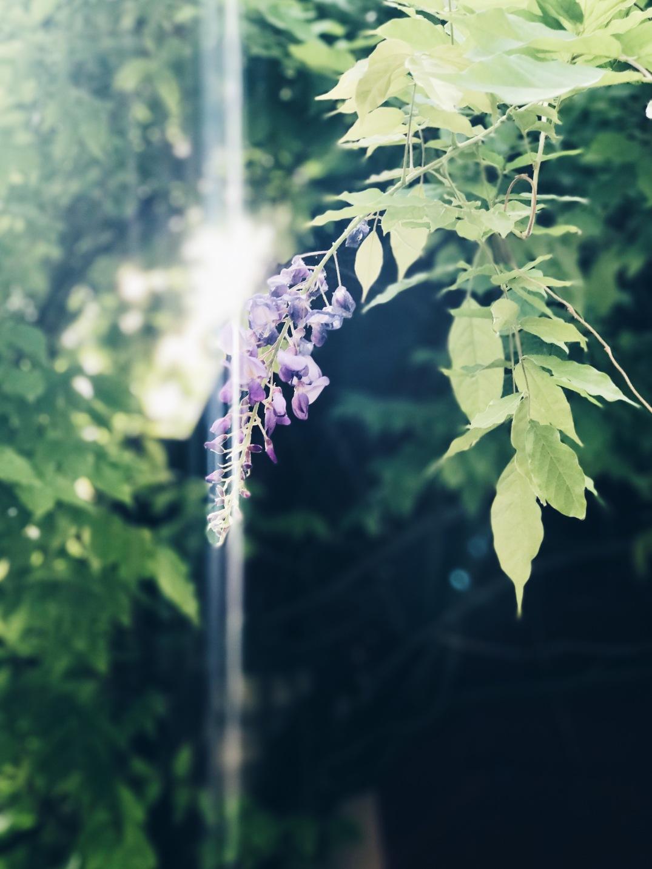 wisteria in the sun